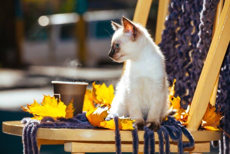 Le jaune beige blanc du soleil de lumière du soleil d'yeux bleus de pelage de race de chaton de petit animal familier thaïlandais photographie stock libre de droits