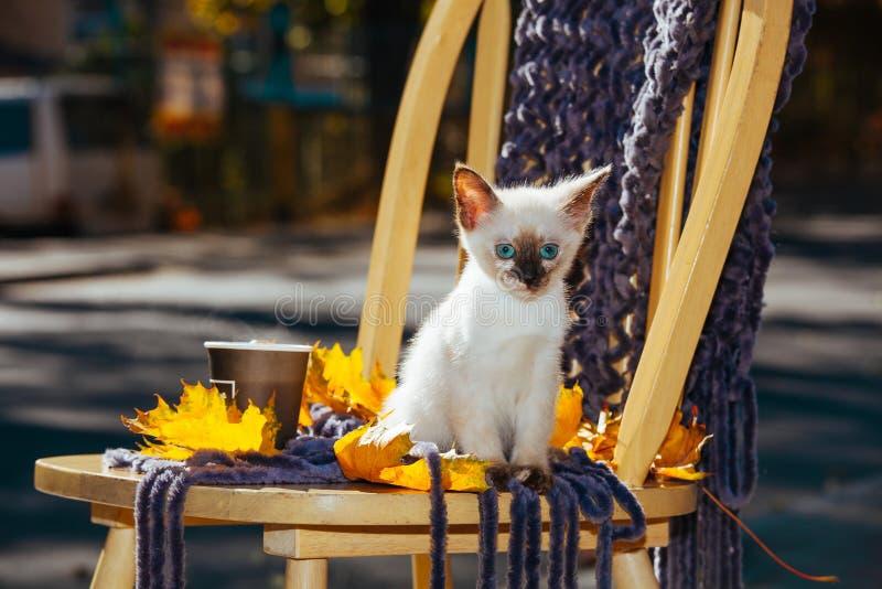 Le jaune beige blanc du soleil de lumière du soleil d'yeux bleus de pelage de race de chaton de petit animal familier thaïlandais photo libre de droits