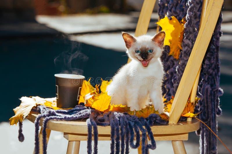 Le jaune beige blanc du soleil de lumière du soleil d'yeux bleus de pelage de race de chaton de petit animal familier thaïlandais photos stock