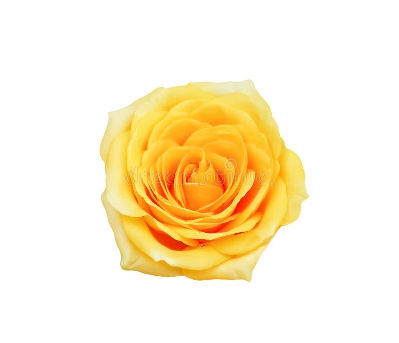 Le jaune coloré de vue supérieure a monté floraison de fleurs d'isolement sur le fond blanc avec le chemin de coupure photos libres de droits