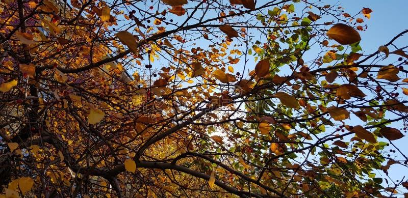 Le jaune de feuilles d'automne défraîchissent la lumière du soleil photos libres de droits