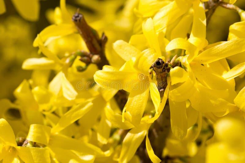Le jaune de MAS de cornus fleurit la fleur photographie stock libre de droits