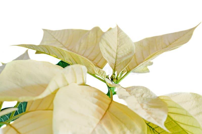 Le jaune de poinsettia fleurit le pulcherrima d'euphorbe images libres de droits