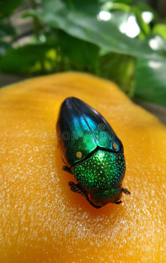 Le jaune doux mûrissent les scarabées lumineux de mangue et d'un bijou image libre de droits