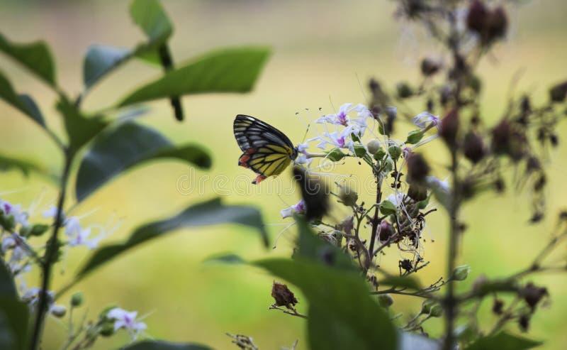 Le jaune et l'orange de noir de papillon rassemblent la fleur blanche de miel photo libre de droits