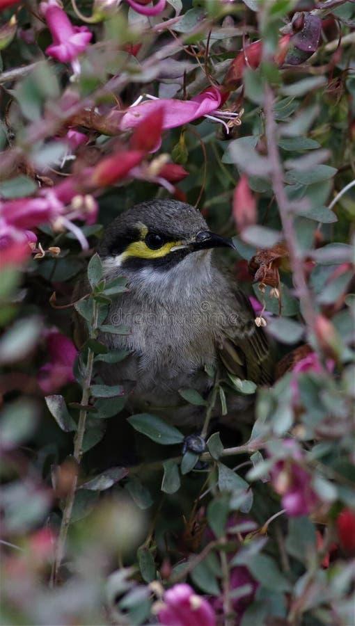 Le jaune a fait face à l'oiseau indigène australien de honeyeater photographie stock libre de droits