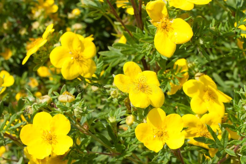 Le jaune fleurit le goldfinger de fruticosa de potentilla en nature wallpaper images stock