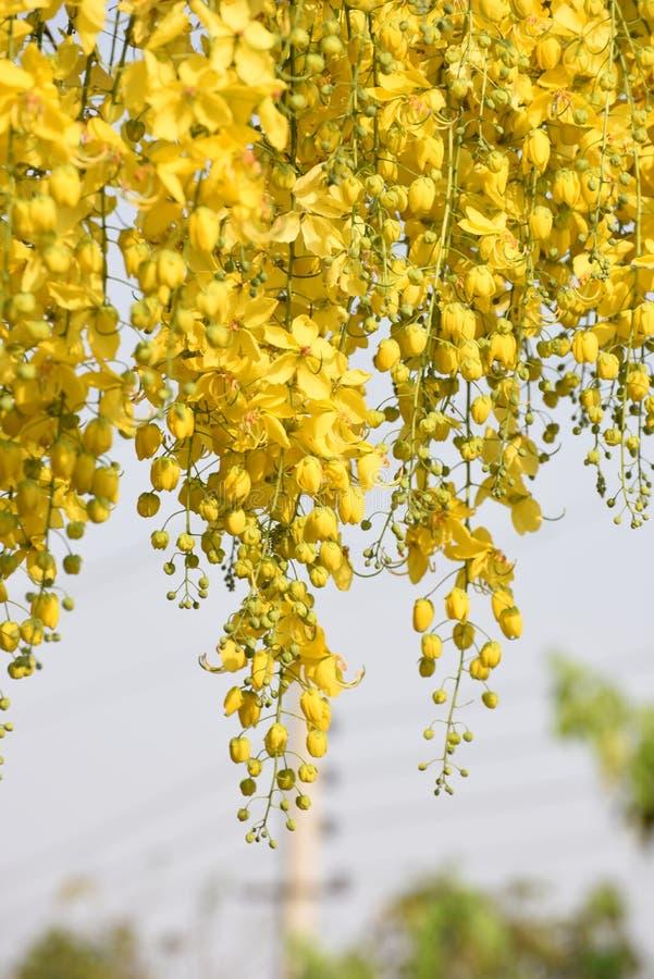 Le jaune fleurit la pleine floraison au printemps images stock