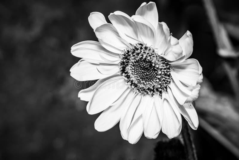 Le jaune fleurit le tuberosus de Helianthus du topinambur - noir et blanc photos libres de droits