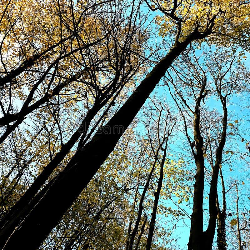 Le jaune foncé part sur les arbres chez Nunburnholme Yorkshire est Angleterre images libres de droits
