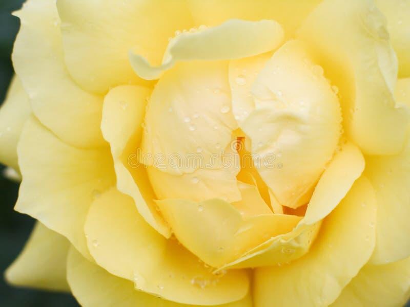 Le jaune humide a monté photo stock
