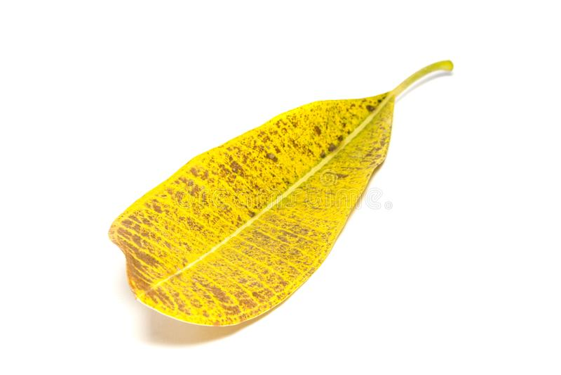 Le jaune laisse la photo sur un fond blanc image stock