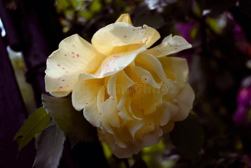 Le jaune a monté avec les marques roses photographie stock libre de droits