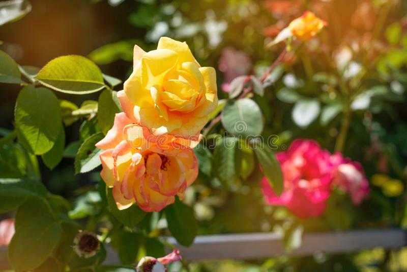 Le jaune a monté sur un fond de parc vert Plan rapproché rose jaune sur un buisson en parc images stock