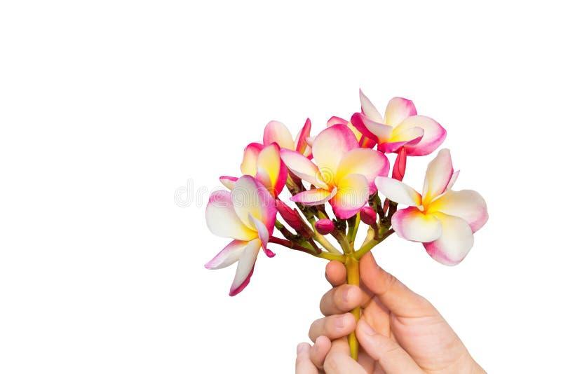 Le jaune rose d'isolement fleurit le plumeria ou le frangipani dans des mains dessus photographie stock libre de droits