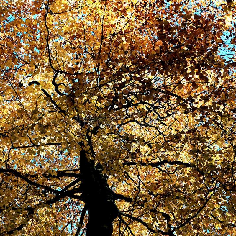Le jaune rougeoyant part sur les arbres chez Nunburnholme Yorkshire est Angleterre images libres de droits