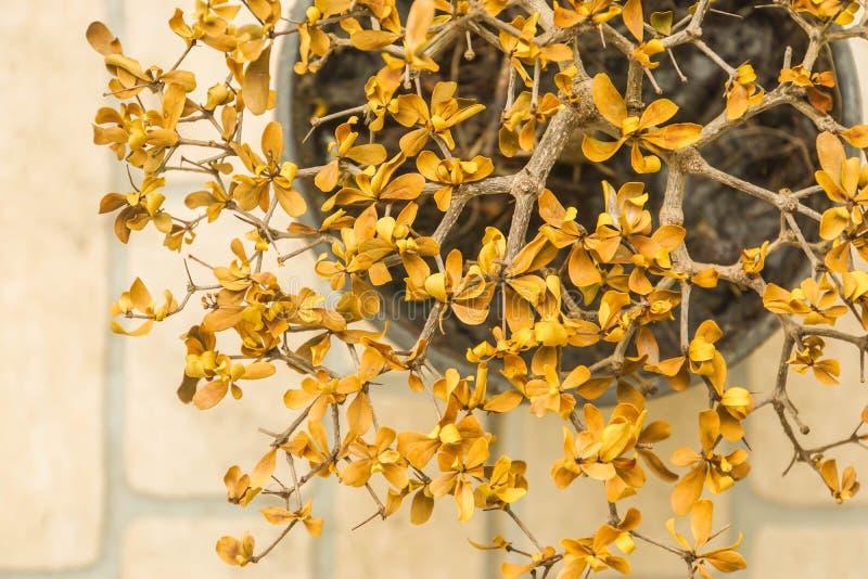 Le jaune sec part sur la petite usine dans le pot photos stock