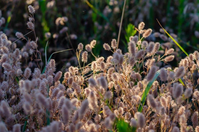Le jeu de la lumière du soleil dans les épillets pelucheux légers des herbes sauvages Orientation molle Fond contrastant photographie stock
