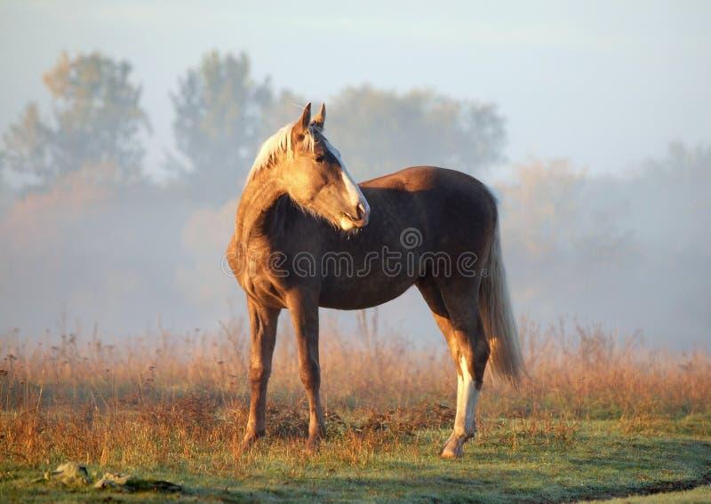 Le jeune étalon argenté-noir sur un pré de matin image libre de droits