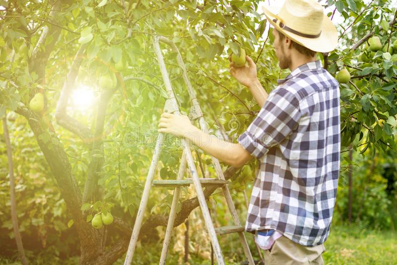 Le jeune agriculteur masculin dans la cueillette occasionnelle porte des fruits de l'arbre utilisant l'échelle le jour d'été rass image libre de droits