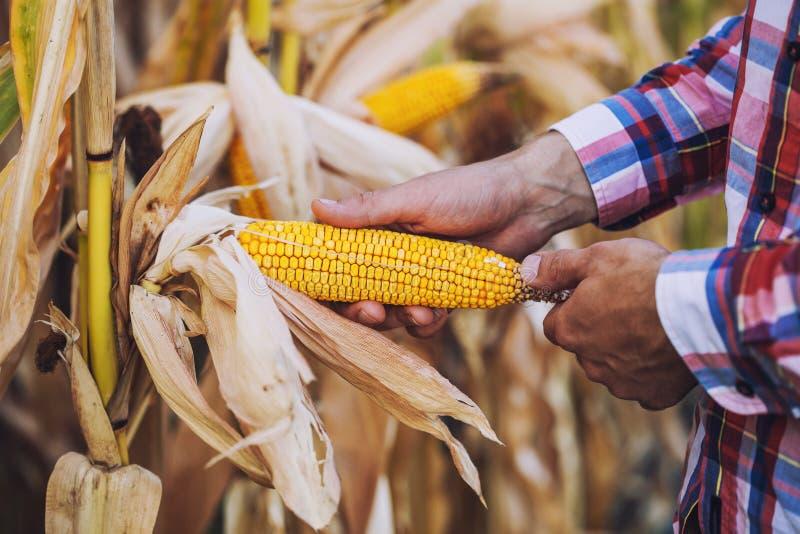 Le jeune agronome vérifie la maturité de la culture de maïs image libre de droits