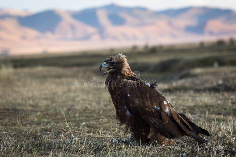 Le jeune aigle d'or se repose sur la steppe mongole nature image libre de droits