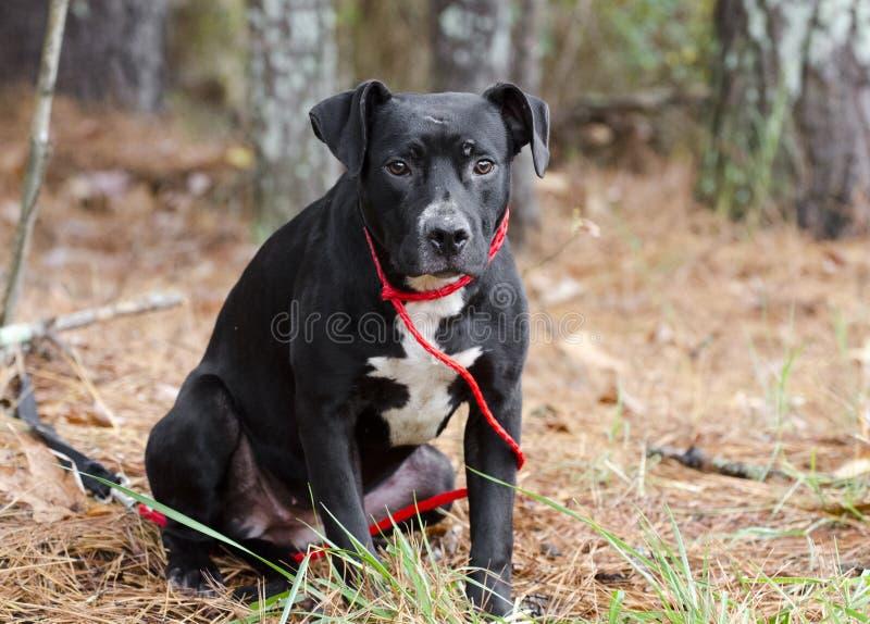 Le jeune Américain noir et blanc Pitbull Terrier a mélangé la séance de chien de race image stock