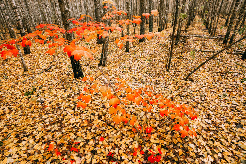 Le jeune arbre d'érable se développe dans le verger de bouleau Érable avec les feuilles rouges photos libres de droits