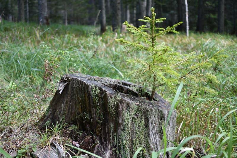 Le jeune arbre impeccable s'élevant du tronçon de décomposition photo stock