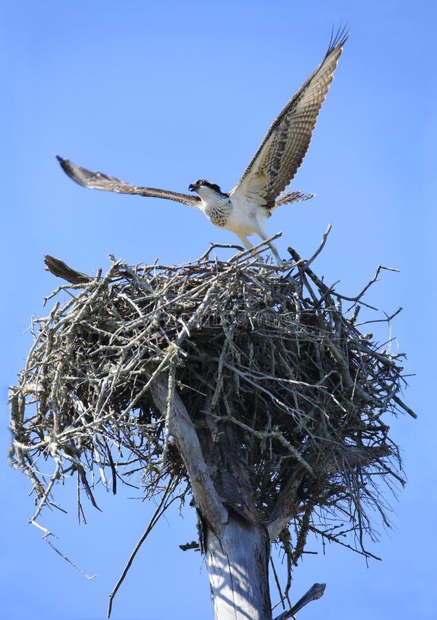 Le jeune balbuzard décollant de lui est nid image libre de droits