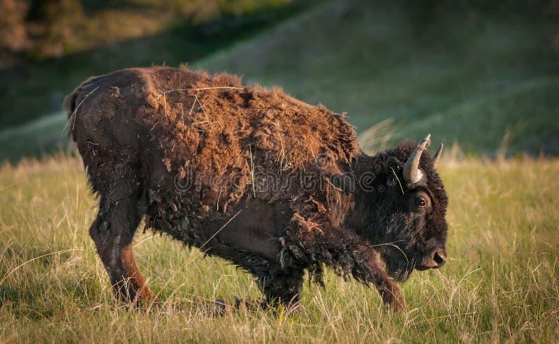 Le jeune bison américain obtient à ses pieds image stock