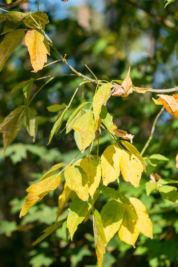 Le jeune brin de l'arbre de cendre avec le premier jaunissement part dans la forêt d'automne photographie stock libre de droits