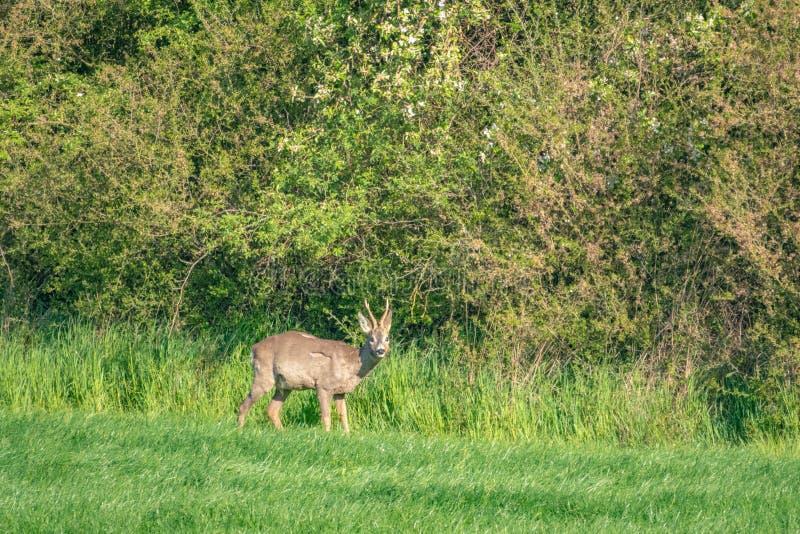 le jeune cerf commun fonctionne à travers un pré vert et mange l'herbe photos libres de droits
