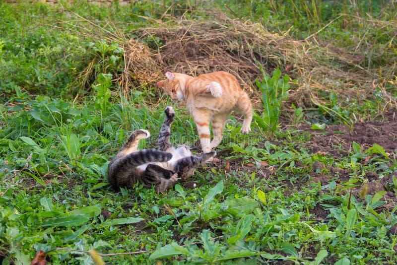 Le jeune chat rouge bat le chat gris images stock