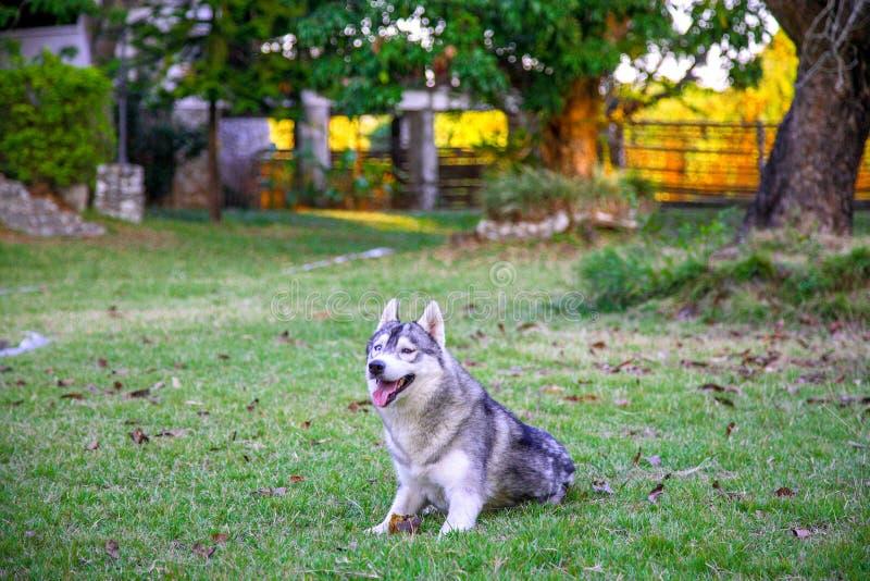 Le jeune chien de traîneau sibérien blanc gris se repose dans l'arrière-cour image stock