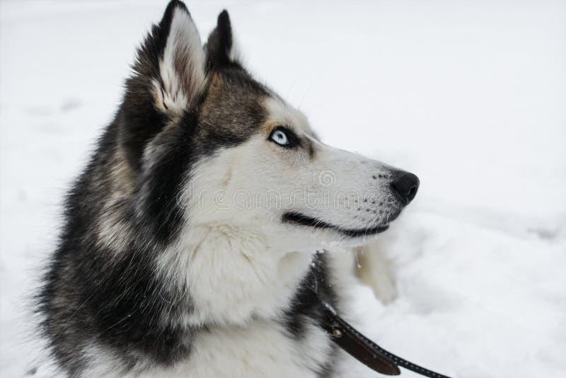 Le jeune chien de traîneau sibérien heureux joue dans la neige, le jour froid d'hiver, la terre pleine de la neige photographie stock