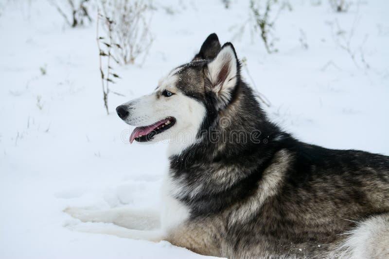 Le jeune chien de traîneau sibérien heureux joue dans la neige, le jour froid d'hiver, la terre pleine de la neige image stock
