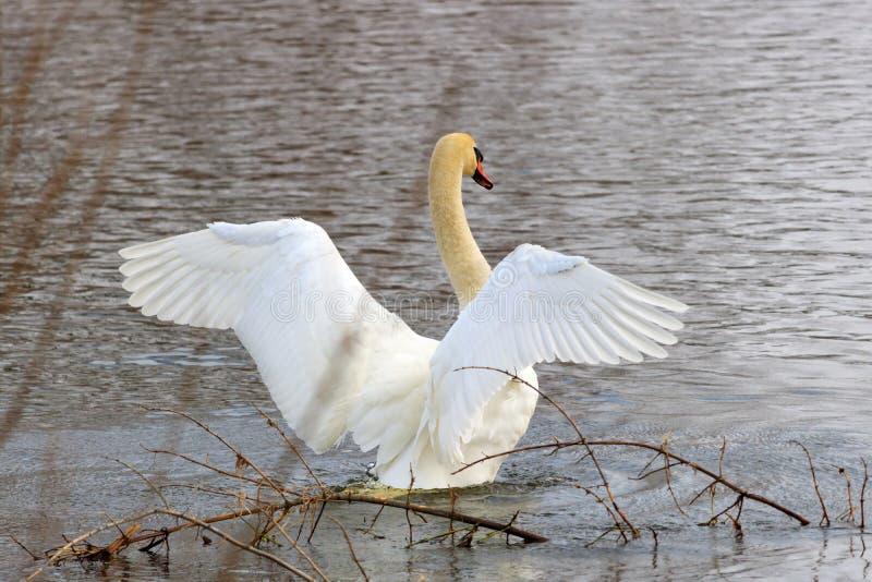 Le jeune cygne blanc sur une surface de l'eau agite ses ailes photo libre de droits