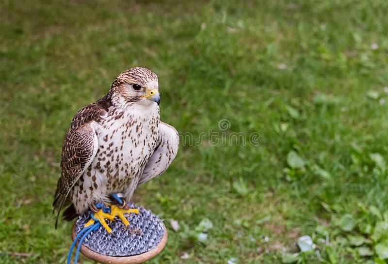 Le jeune faucon repose le regard dans la distance sur un en bois images stock