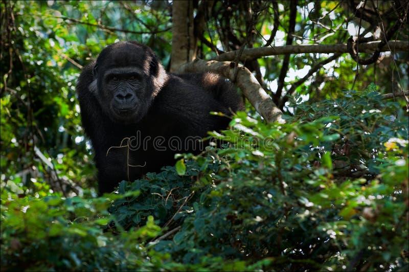 Le jeune gorille mâle de terre en contre-bas. images libres de droits