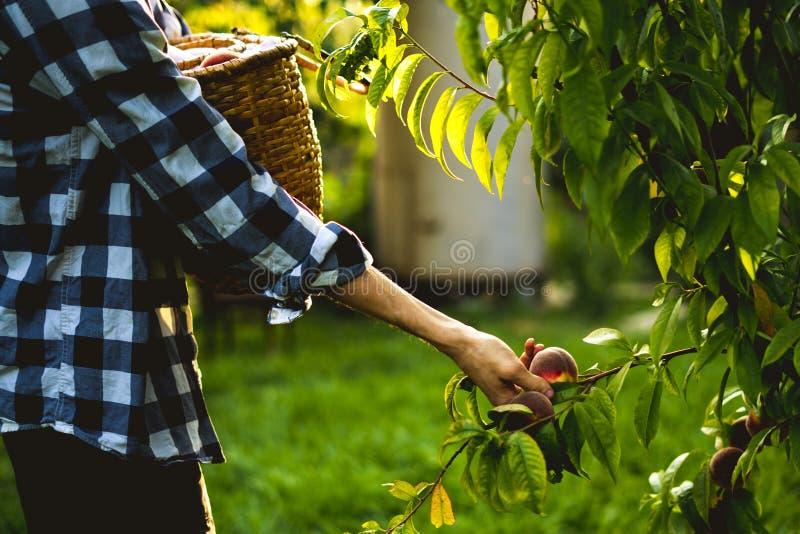 Le jeune homme barbu sélectionne des pêches d'arbre dans le panier avec éclairent le soleil par l'arbre image libre de droits