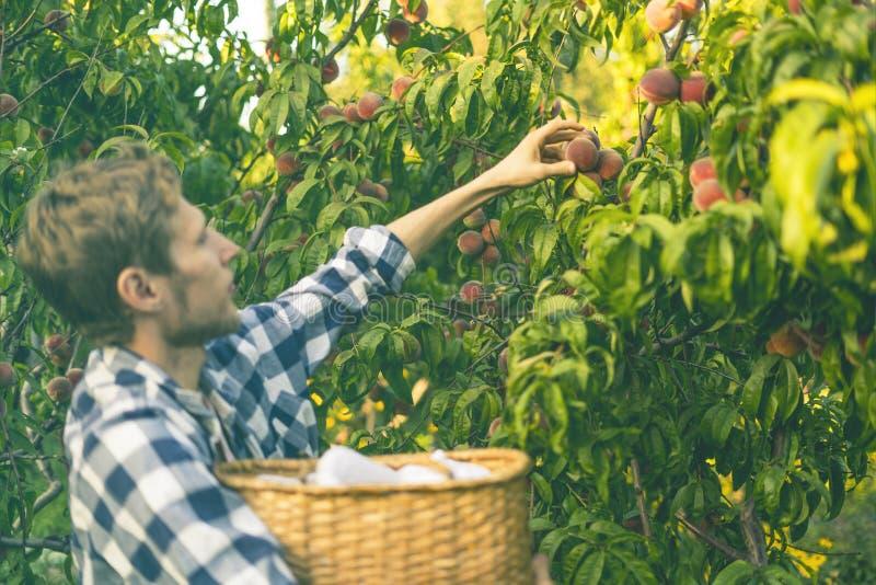 Le jeune homme barbu sélectionne des pêches d'arbre dans le panier avec éclairent le soleil par l'arbre image stock