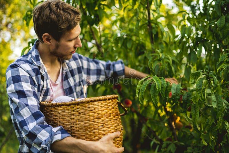 Le jeune homme barbu sélectionne des pêches d'arbre dans le panier avec éclairent le soleil par l'arbre photographie stock