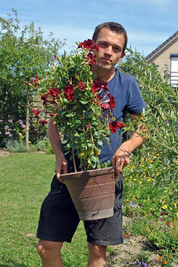 le jeune jardinier avec le dipladenia de pot fleurit dans le jardin image stock image du. Black Bedroom Furniture Sets. Home Design Ideas