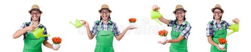 Le jeune jardinier drôle avec les tulipes et la boîte d'arrosage a isolé l'oin W photographie stock libre de droits