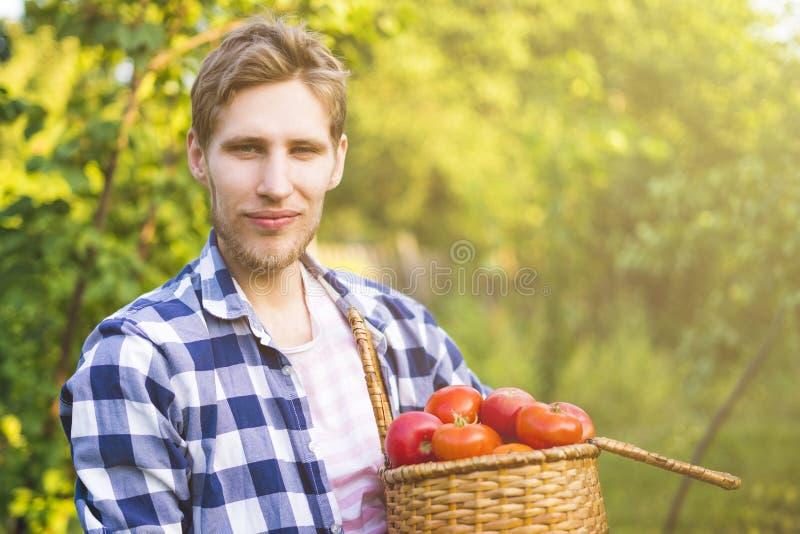 Le jeune jardinier masculin d'agriculteur rassemblent la tomate dans le panier dans la ferme ensoleillée d'été photographie stock