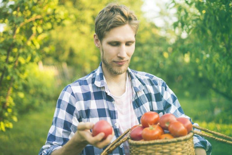 Le jeune jardinier masculin d'agriculteur rassemblent la tomate dans le panier dans la ferme ensoleillée d'été photos stock