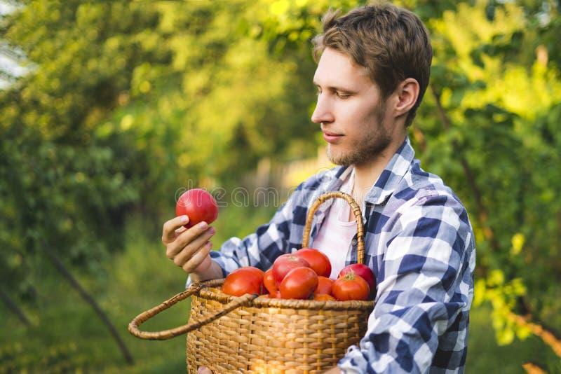 Le jeune jardinier masculin d'agriculteur rassemblent la tomate dans le panier dans la ferme ensoleillée d'été images stock