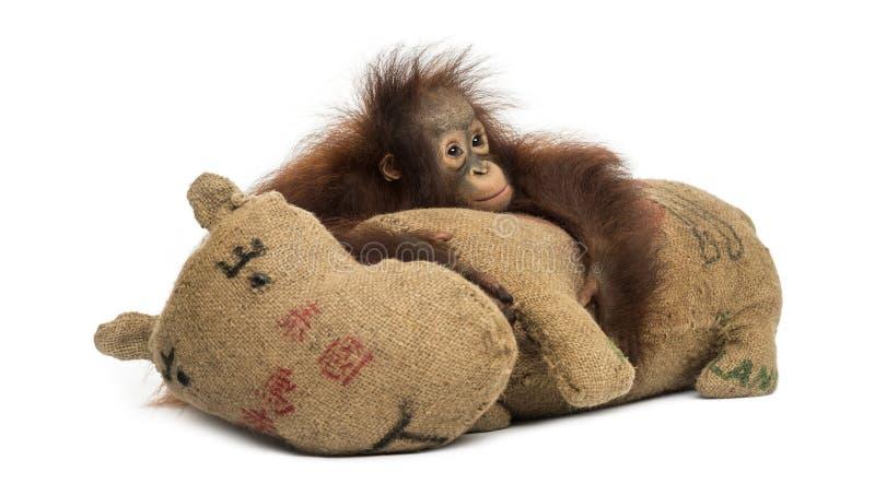 Le jeune orang-outan de Bornean étreignant sa toile de jute a bourré le jouet photos libres de droits