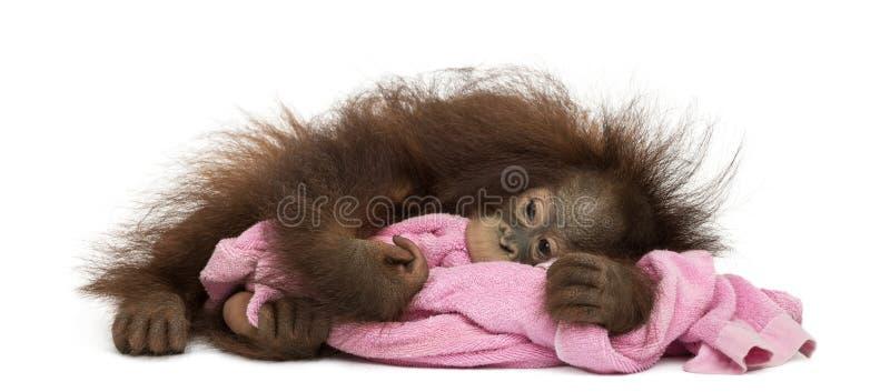 Le jeune orang-outan de Bornean a fatigué, se trouvant et caressant une serviette rose photos libres de droits